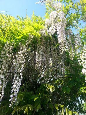 mopana-flowers-or-grapes-01