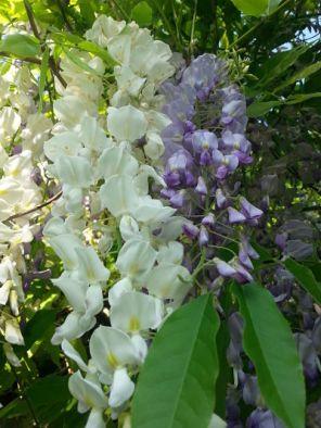mopana-flowers-or-grapes-08