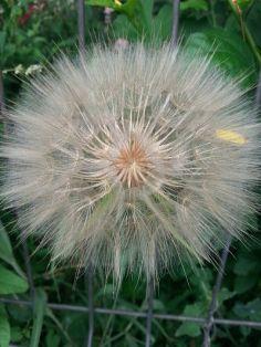 mopana-giant-dandelion-06