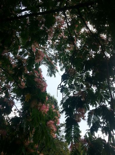 mopana-beautiful-tree-05