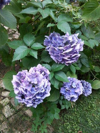 mopana-blue-hydrangea-04