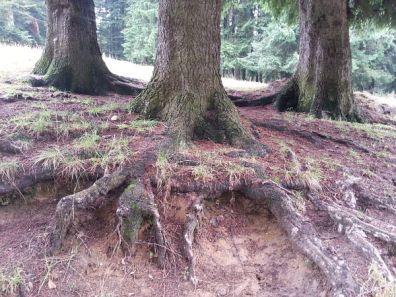 mopana-tree-roots-01