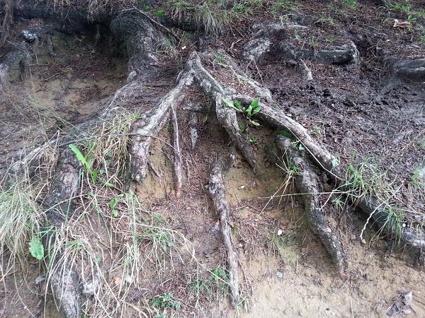 mopana-tree-roots-03