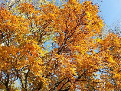 mopana-a-golden-autumn-03