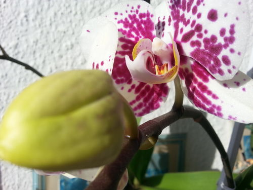 mopana-spotted-orchid-01