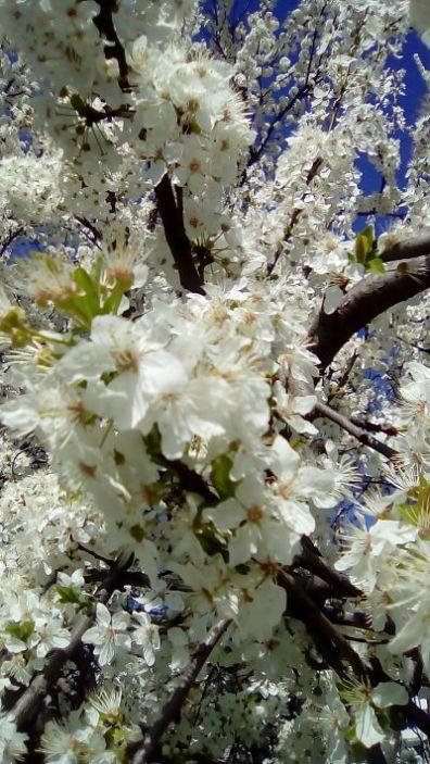 mopana-white-spring