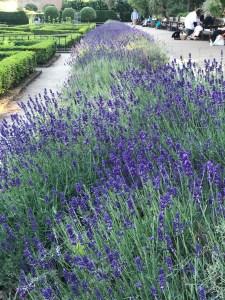 Lavenders, lavender fields, holland park, london parklands