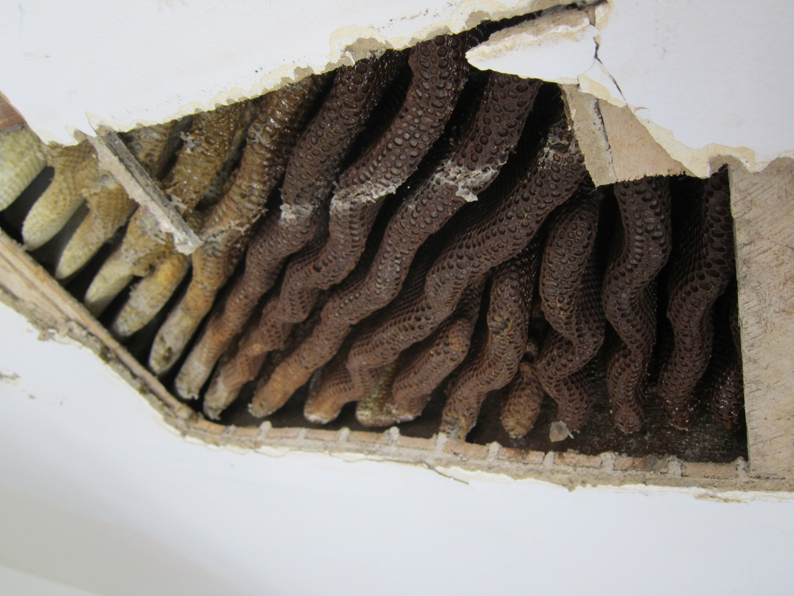 bees in ceiling for