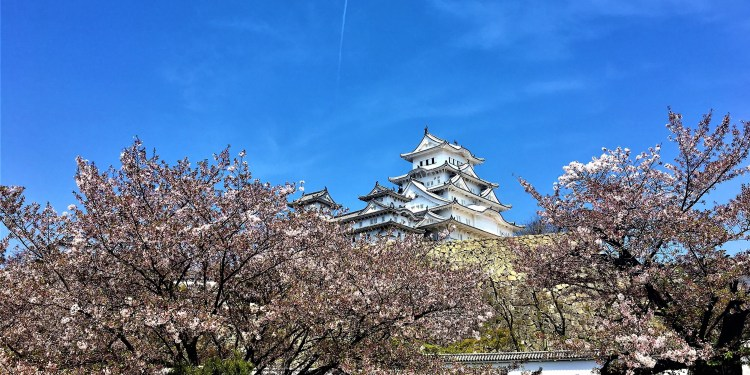 Cherry trees in a line surrounds Himeji Castle. Cherry blossom season in Japan