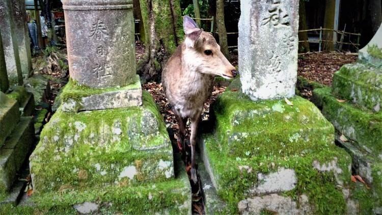 Walking through Nara Park to Kasuga Taisha shrine, there are lanterns and peeking deer