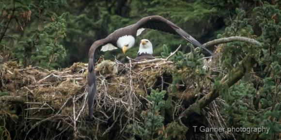 photography tips, exposure, travel, wildlife photography, eagle, bald eagle