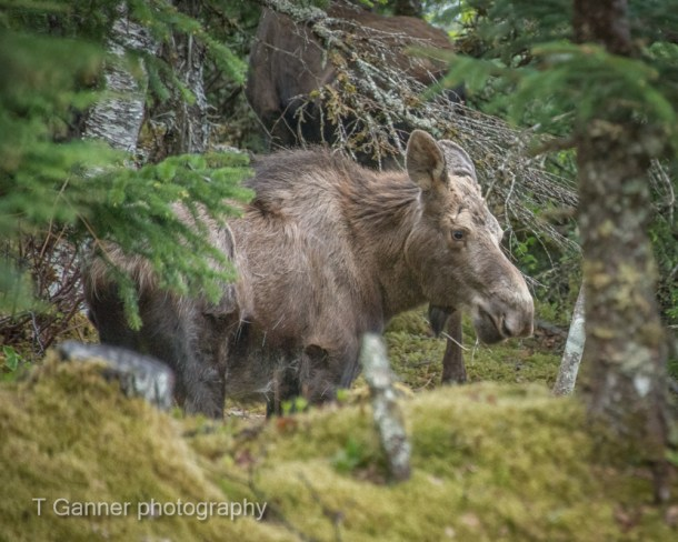 moose, Haines Alaska, Haines, wildlife, Su Casa, vacation rental