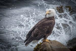 bald eagle, wildlife photography
