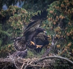 bald eagle, wildlife photography, nest, juvenile eagle, fledgling