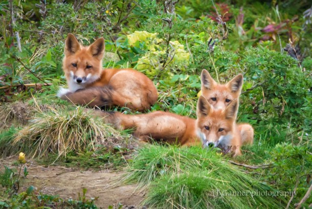 Aleutian Islands, AMHS, Alaska, Alaska Marine Highway System, Tustumena, Cold Bay, Izembek, red fox