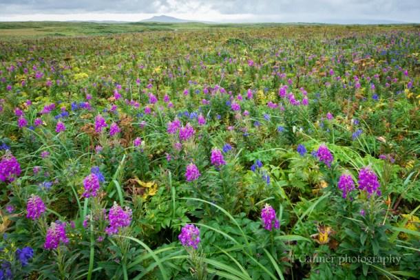 Aleutian Islands, AMHS, Alaska, Alaska Marine Highway System, Tustumena, Cold Bay, Izembek, wildflower, fireweed, lupine