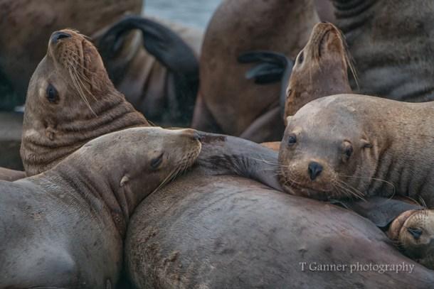 Aleutian Islands, AMHS, Alaska, Alaska Marine Highway System, Kodiak, Tustumena, sea lion