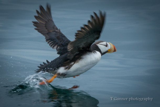 Aleutian Islands, AMHS, Alaska, Alaska Marine Highway System, Kodiak, puffin