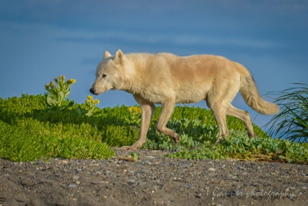 wolf, wolves, Katmai, Katmai National Park, Alaska, Hallo Bay