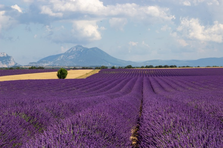 best lavender fields of Provence