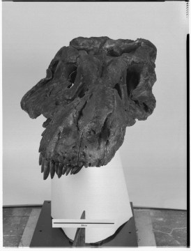 FMNH PR2081, commonly referred to as SUE the T. rex