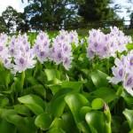 water hyacinth pani meteka