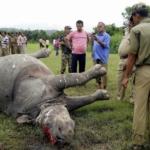 Killed & Dehorned Rhino in Assam