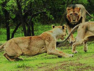 Poachers back to hunt Gujrat pride?