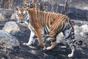 Tour operators' Pench proposal glosses over govt norms on tiger tourism