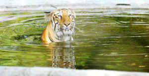 Forest officials seize tiger pelt, big cat suspected to be poached