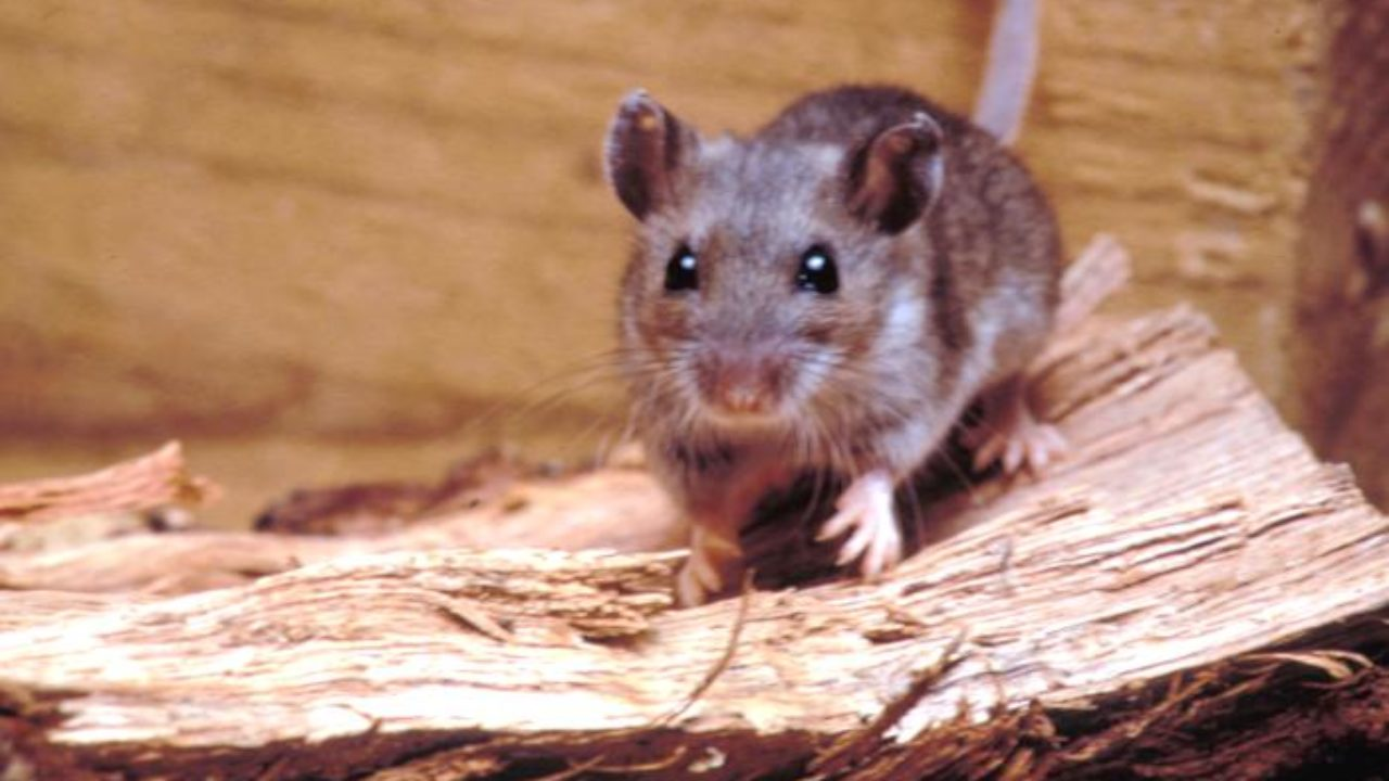Deer Mouse with Potentially Deadly Hantavirus Found in Fallbrook ...