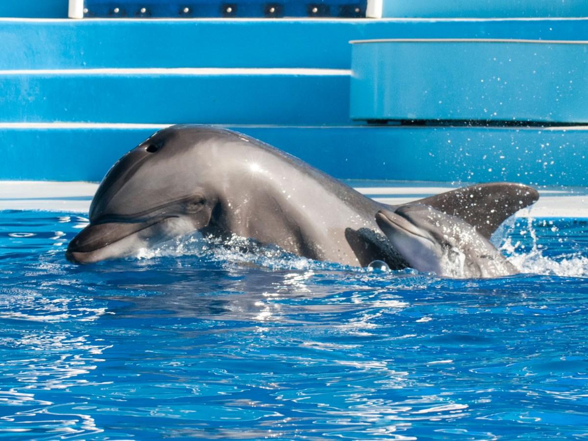 dolphin calf and mom, seaworld