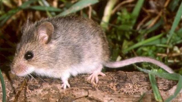 Mice Found in Fairbanks Ranch Carry Potentially Fatal Hantavirus ...