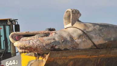 A dead gray whale calf was removed from the beach by a bulldozer. Photo by Chris Stone