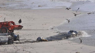 A gray whale calf was removed from Solana Beach about 2:30 p.m. Photo by Chris Stone