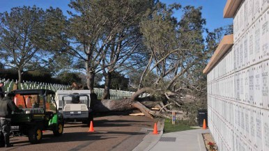 A tall Torrey pine fell across a road and near headstones at Fort Rosecrans National Cemetery. Photo by Chris Stone
