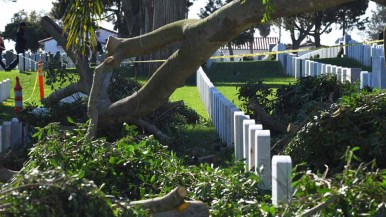 Remains of oldest Ficus at Fort Rosecrans National Cemetery fell between headstones. Photo by Chris Stone
