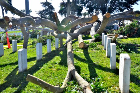 Remains of oldest Ficus at Fort Rosecrans National Cemetery fell between rows of headstones. Photo by Chris Stone