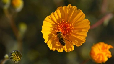 A bee gathers pollen in a Desert Sunflower along Henderson Canyon Road in Borrego Springs. Photo by Chris Stone