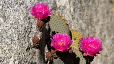 A Beavertail cactus is covered with blooms at the visitors center in Anza-Borrego Desert State Park. Photo by Chris Stone