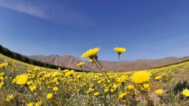 California dandelions blanket a field along DiGiorgio Road in Borrego Springs. Photo by Chris Stone