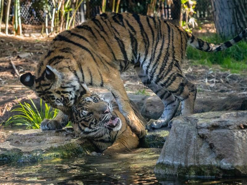 Bengal Tiger Cub Moka