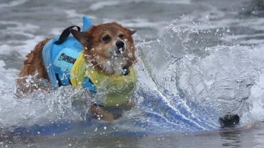 Super Corgi JoJo makes a splash in the competition.