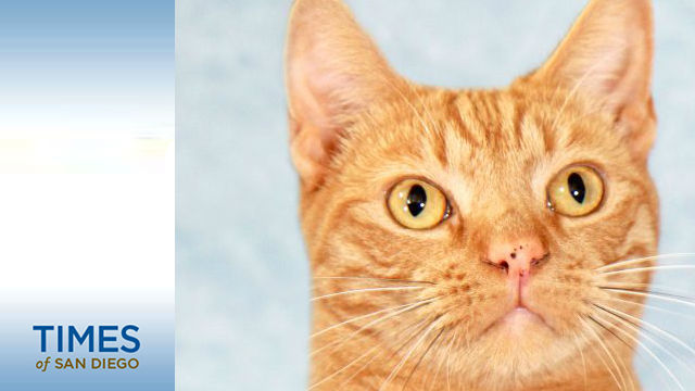 Red Tabby Cat Jack Skellington Is Ready to be Adopted