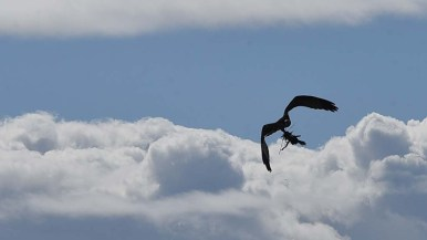 An osprey carries nesting material over the Kendall-Frost Mission Bay Marsh Reserve.