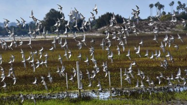 A flock of sandpipers fly around the Kendall-Frost Mission Bay Marsh Reserve.