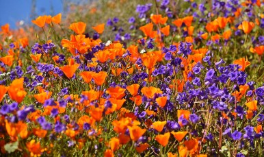 Canterbury bells added purple contrast to the orange poppies in Lake Elsinore.