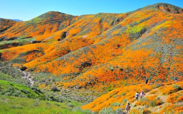 Visitors view hillsides covered with California poppies in Lake Elsinore.