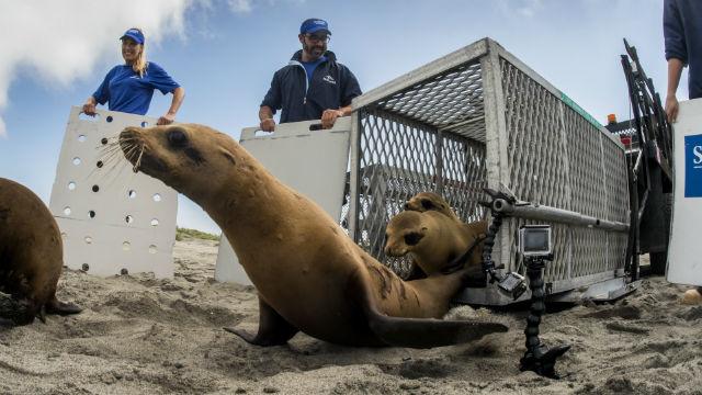Sea lion release by SeaWorld in June 2019. Photo via SeaWorld