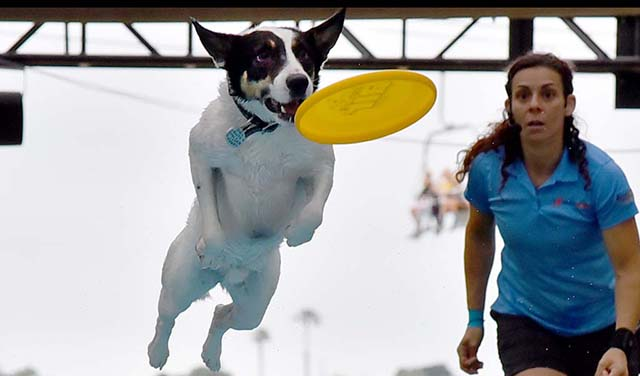 Trainer Andrea Rigler watches Leap the dog jump for a frisbee before landing in pool in an Extreme Dog show at the Del Mar Fair.